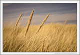 Autumn Dune Grass