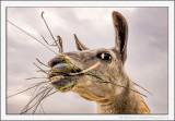 Scottish Wild Llama