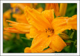 Watered Lily