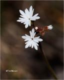Slender Woodland Star