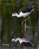 Black-necked Stilt (juvenile)