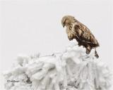 Rough-legged Hawk / Frost