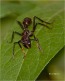 Bullet Ant  (The most painfull sting of any critter)
