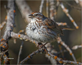 Song Sparrow (This guy is fluffed up)
