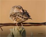 Savannah Sparrow (preeening)