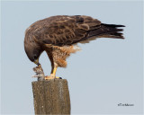 Swainson's Hawk  / Gopher (not a good day for the Gopher)