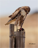 Red-tailed Hawk (how to skin a gopher)