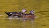 Wood Ducks (always on alert)