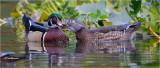 Wood Ducks ( I wonder what she told him)