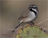 Black-throated-Sparrow