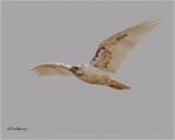 Red-tailed Hawk  (Leucistic)