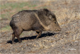 Collared Peccary or Javalina