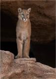 Cougar   (Captive)
