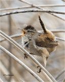 Marsh Wren  (cold and windy yesterday)