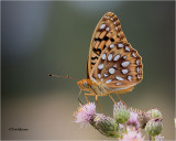 Coronis Fritillary-web.jpg
