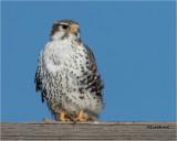 Prairie Falcon