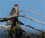 Coopers Hawk (huge Crop)