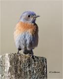 Westerrn Bluebird