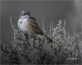 Sagebrush Sparrow  (Perched on Sage)