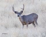 Mule Deer ( getting his winter coat )