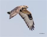 Rough-legged Hawk  ( my favorite winter raptor)