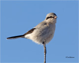 Northern Shrike  (bird on a stick)