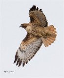 Red-tailed Hawk  (first time I have photographed a banded raptor)
