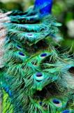 peacock 2014