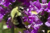 Bumblebee - _MG_2187.jpg - 07/14/2013