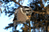 Banded Northern Hawk Owl