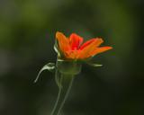 Tithonia IMGP5422a.jpg