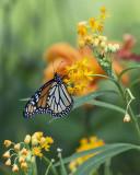 Female Monarch on Tropical Milkweed IMGP4544a.jpg