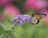 Female Monarch IMGP4563a.jpg
