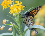 Monarch ovipositing IMGP4547.jpg