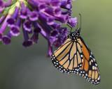 Monarch on iochroma cyanea IMGP7809a.jpg