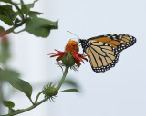 Monarch on Senecio confusus Mexican Flame Vine IMGP7874a.jpg