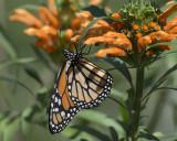 Monarch on Leonotis Leonurus IMGP7732a.jpg