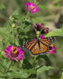 Monarch on zinnia IMGP8426a.jpg