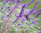 Salvias and Hummingbirds