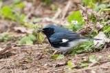 Black - throated Blue Warbler