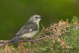 Black - throated Blue Warbler ( female )