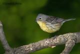 Kirtland's Warbler ( female )