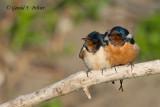Barn Swallow's