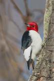 Red - headed Woodpecker