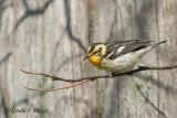 Blackburnian Warbler (f)
