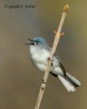 Blue - gray Gnatcatcher