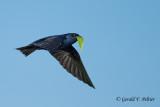 Purple Martin   heading to the nest