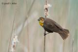 Yellow - headed Blackbird (f)