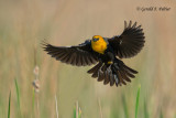 Yellow - headed Blackbird