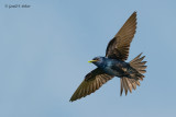 Purple Martin  (with small leaf for the nest)